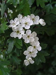 Common Hawthorn Flowers are white